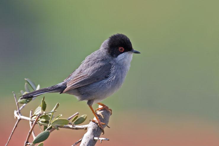 fauvette melanocephale fiche oiseaux animaux