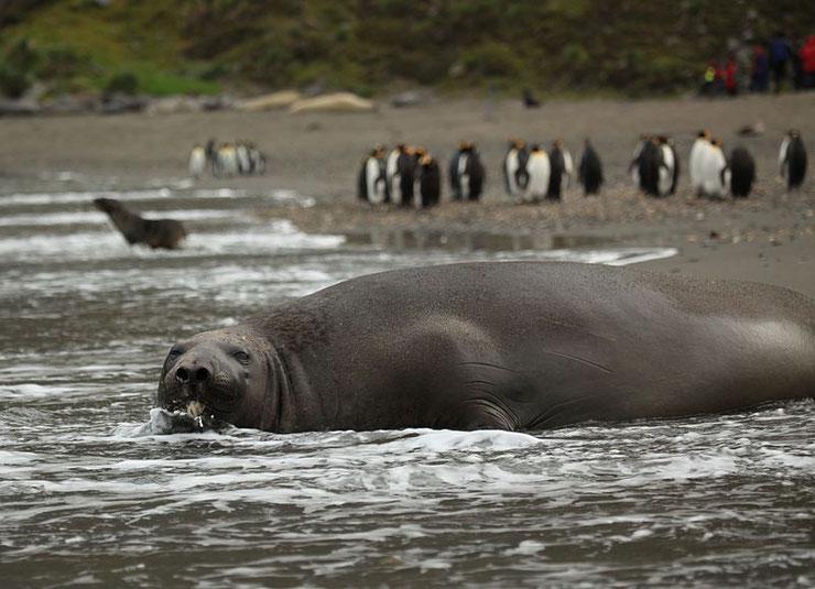 les animaux de la banquise et des cercles polaires pole sud nord arctique antarctique elephant mer du sud
