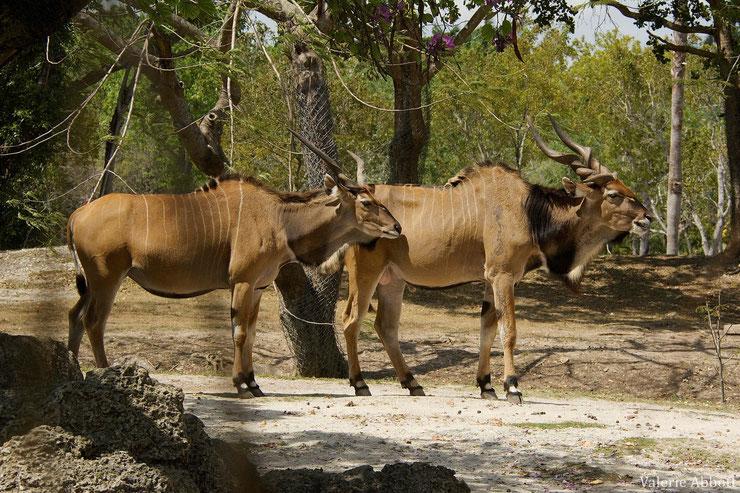 eland du cap fiche animaux afrique bovides animals fact
