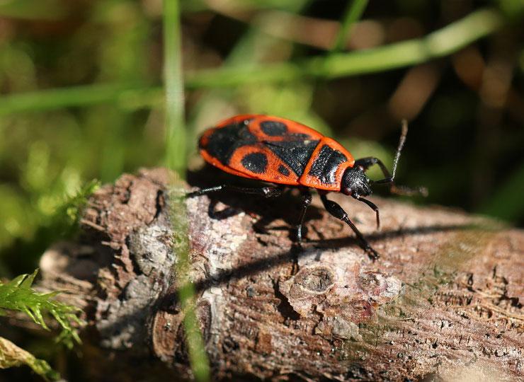gendarme fiche insecte animaux de nos jardins