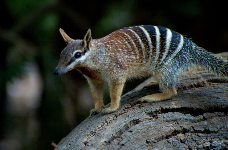 animaux a rayures australie numbat
