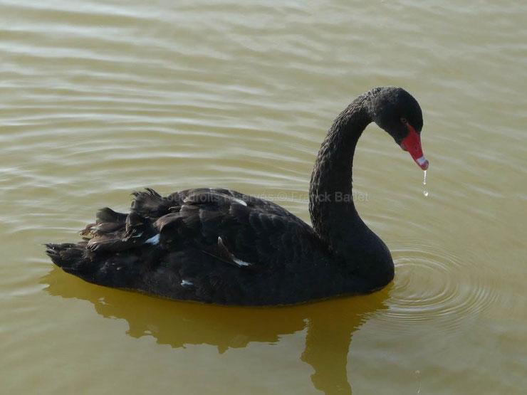 animaux noirs oiseaux cugne noir thematique