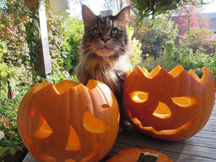 chat maincoon halloween