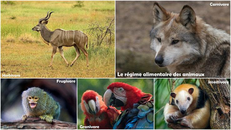 regime alimentaire des animaux herbivores carnivores frugivores insectivores cours pédagogique programme primaire cm1 cm2 college svt 6ème
