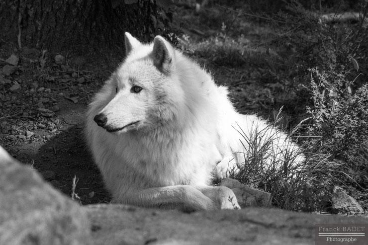 loup arctique loup blanc fiche animaux