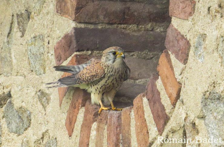 femelle faucon crecerelle fiche oiseaux