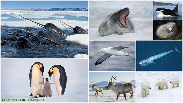 liste des animaux de la banquise et cercle polaire pole sud pole nord arctique antarctique