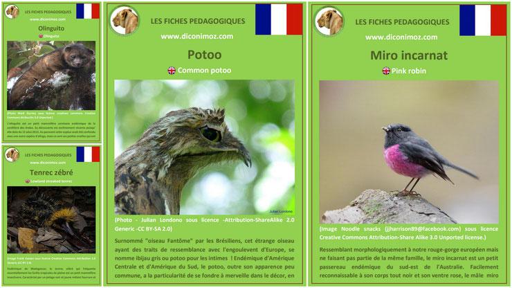 fiche animaux meconnus à telecharger et a imprimer pdf habitat taille poids reproduction alimentation : le tenrec zebré, le miro incarnat, le potoo et l'olinguito