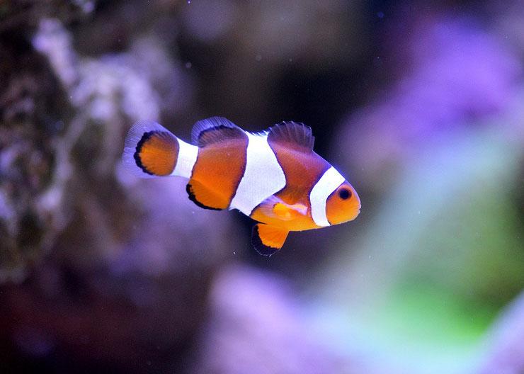poisson clown fiche poisson