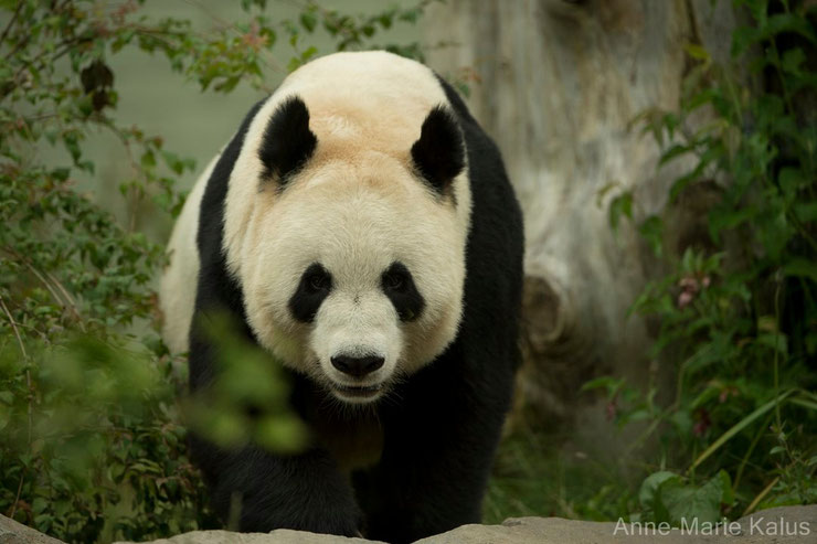animaux chine panda