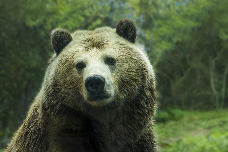 ours grizzly fiche animaux ursus arctos horribilis