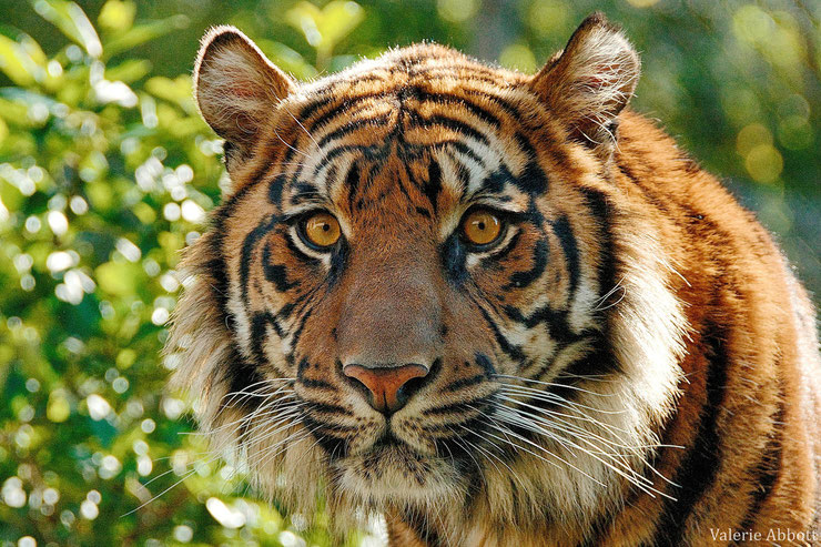 tigre de sumatra fiche animaux felins animal fact wildcat sumatran tiger