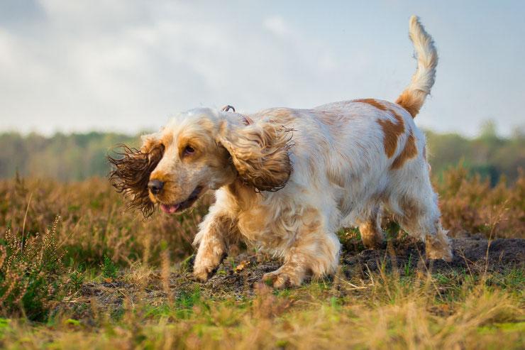 fiche chien cocker spaniel anglais comportement origine sante caractere
