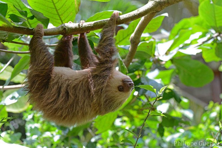 paresseux unau fiche animaux guyane habitat poids taille longevite regime alimentaire reproduction predateur