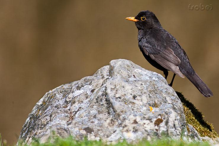 animaux noirs oiseaux merle thematique