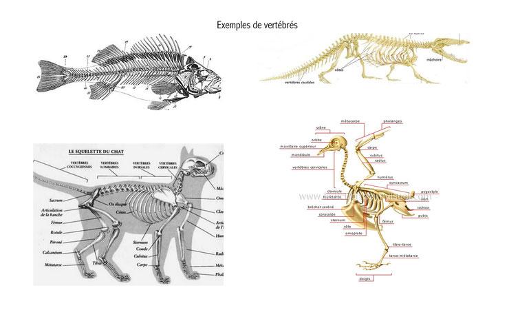 exemple definition  vertebres squelette oiseaux poissons mammiferes reptiles os cartilages