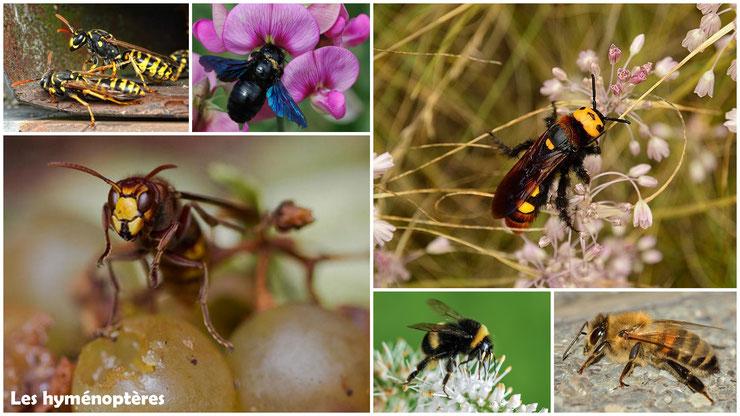 savez vous reconnaitre les hymenoptères abeille guepe frelon bourdon xylocope scolie