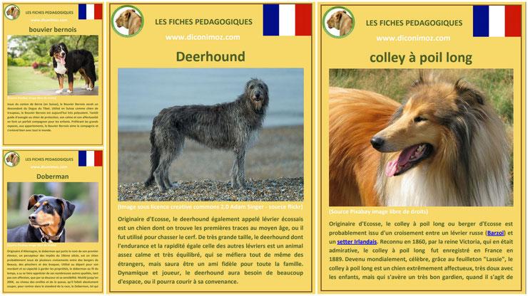 fiche animaux animal de compagnie  chien à telecharger et a imprimer pdf comportement origine caractere race bouvier bernois doberman deerhound colley à poil long