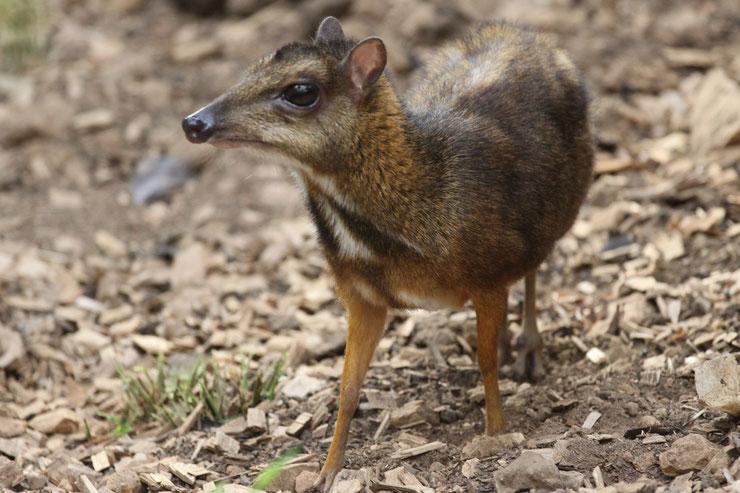 chevrotin de balabac fiche animaux pilandok mouse deer