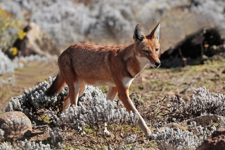 loup d'Abyssinie fiche animaux ethiopie animal fact ethiopian wolf