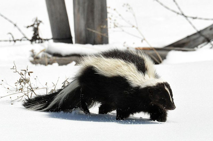 mouffette rayee fiche animaux mustelides striped skunk animal facts quebec canada