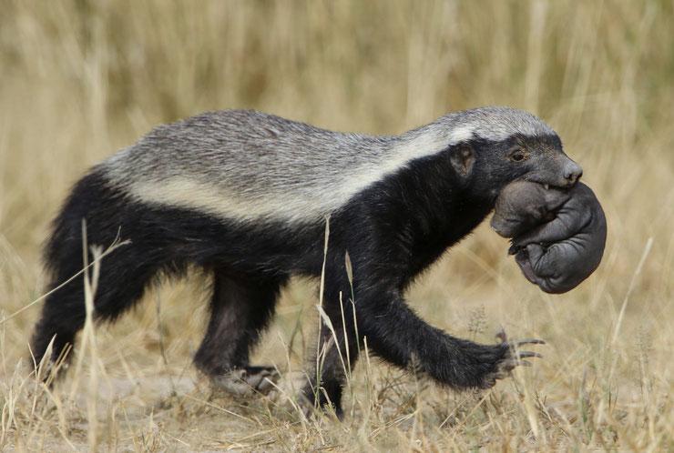 zorille du cap ratel fiche animaux mustelides animal facts honey badger