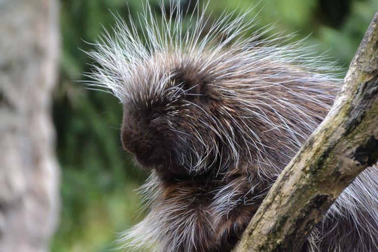 animaux canada quebec porc epic amerique du nord northern porcupine