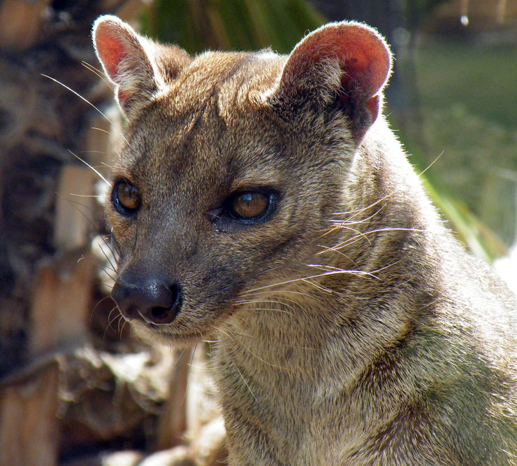 fossa animal magadascar