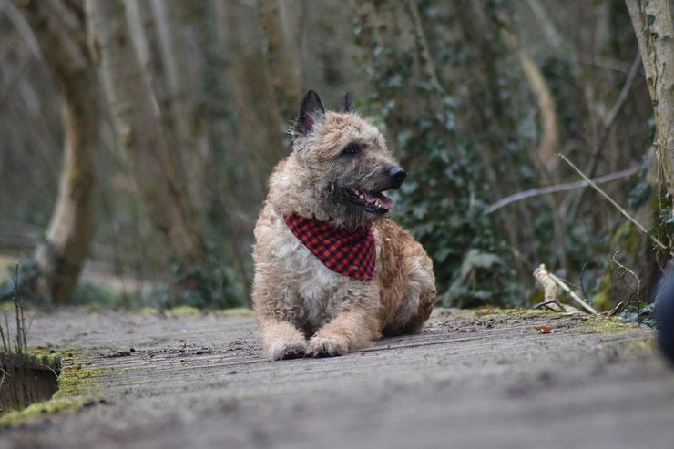 laekenois berger belge fiche chien caractere origine histoire sante comportent