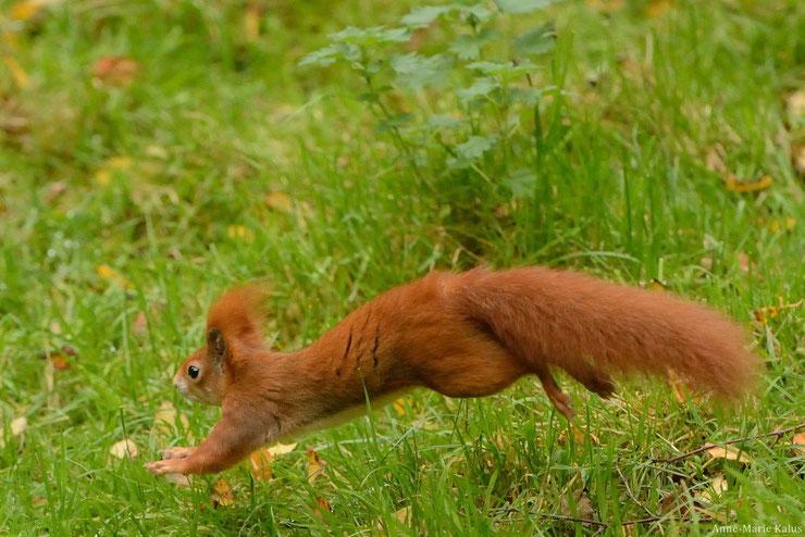 ecureuil roux fiche animaux foret francaise
