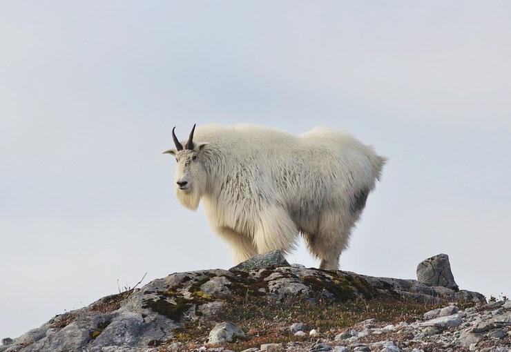 fiche animaux chevre des montagnes rocheuses poids taille habitat distribution