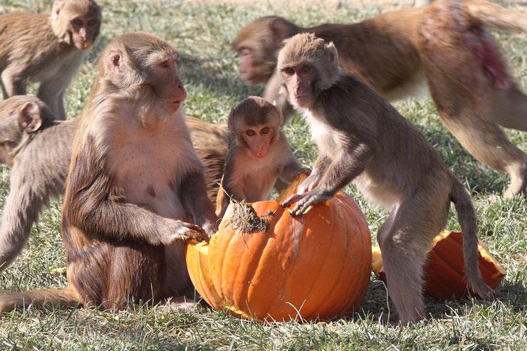 singe monkeys hallowwen citrouille pumpkins