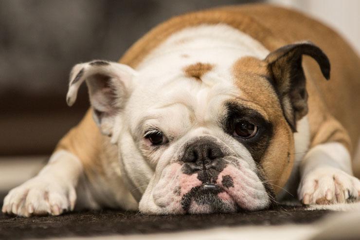 bulldog bouledogue anglais fiche race chien animaux caractere comportement origine poil couleur