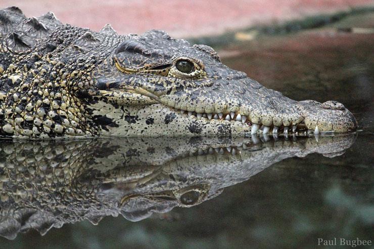 animaux madagascar crocodile nil
