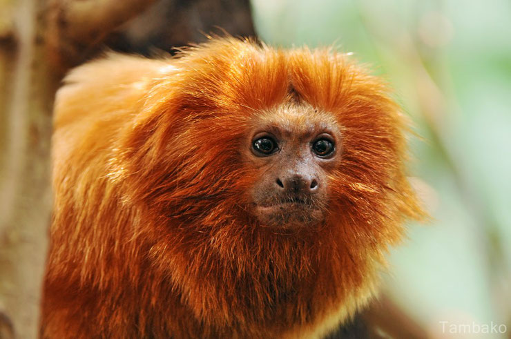 liste des animaux d'amazonie tamarin lion dore