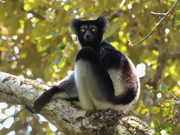 indri fiche animaux lemuriens