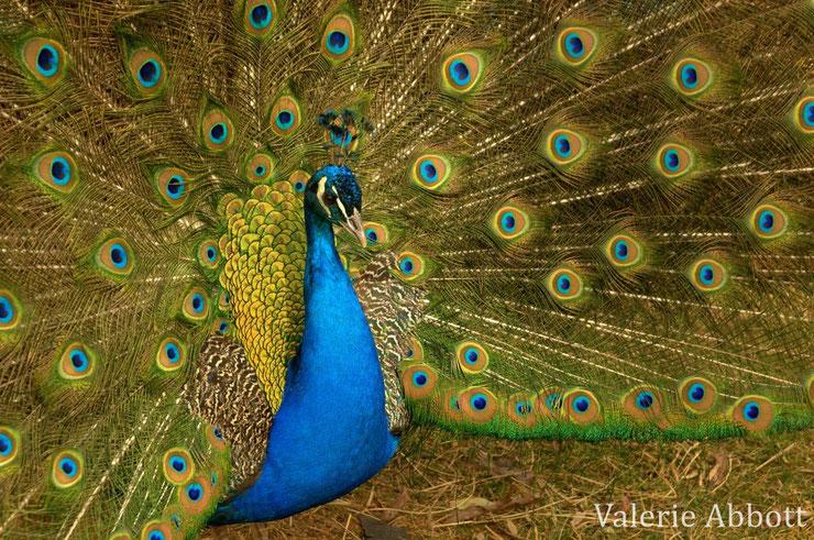 paon bleu fiche oiseau basse cour animaux indien pavo cristatus