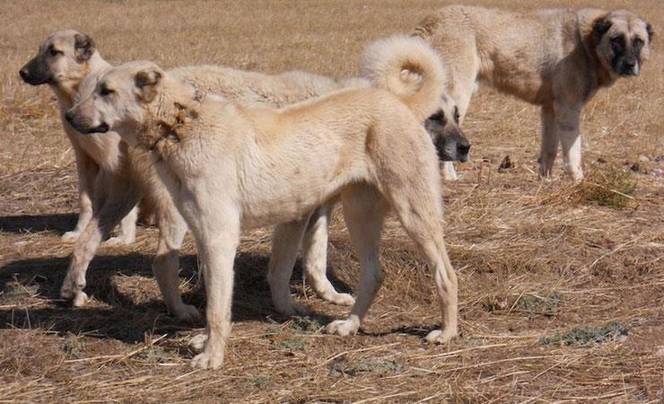 berger anatolie kangal karabash chien turque fiche animaux animal fact dog caractere comportement origine poil couleur