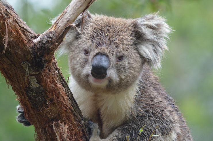 koala liste des marsupiaux