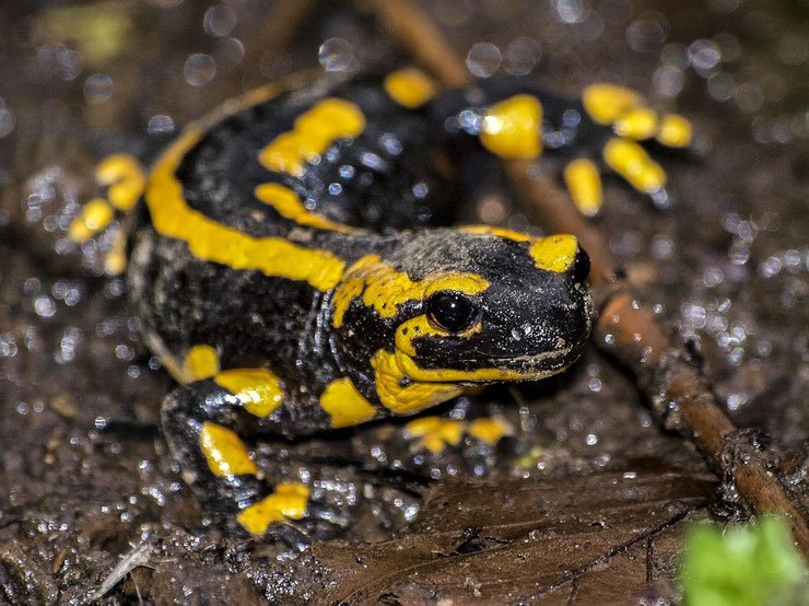 salamandre tachetee taille poids longevite habitat alimentation distribution