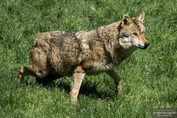 loup gris fiche animaux
