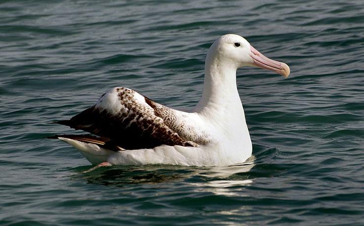 albatros hurleur en train de nager oiseaux marins