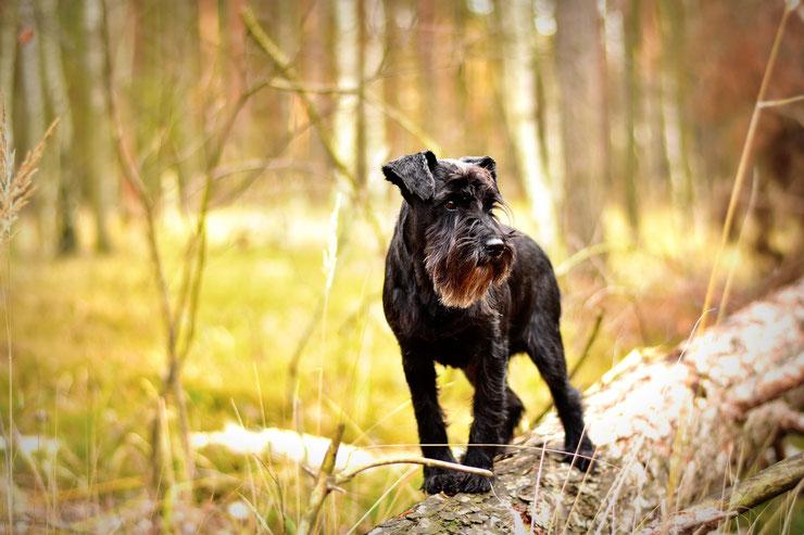 schnauzer moyen fiche chien comportement caractere origines poils sante