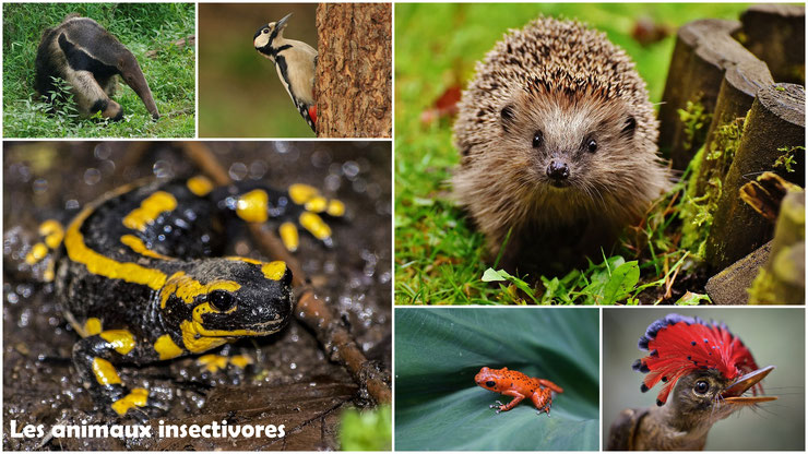 les animaux insectivores  regime alimentaire svt ecole primaire cm1 cm2 college pedagogie cours expose devoir