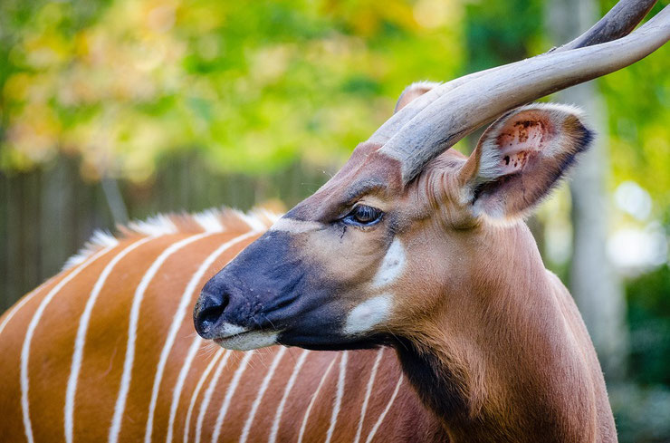 bongo antilope afrique fiche animaux bovides animal fact african antelope