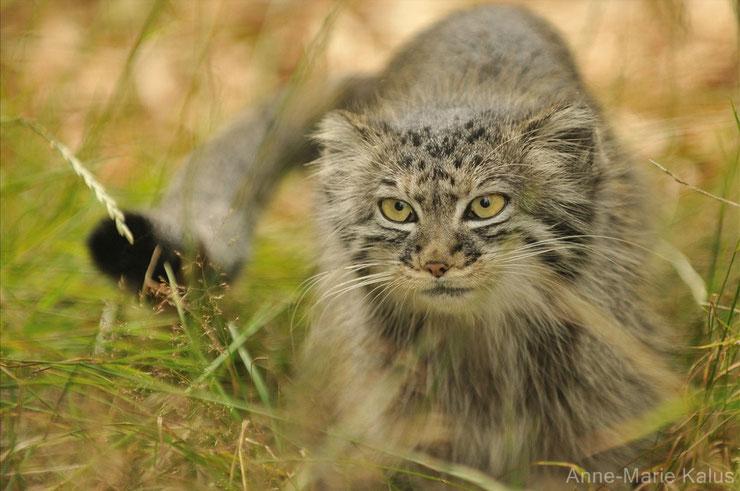 liste des animaux du tibet chat de pallas manul