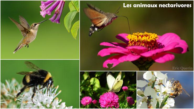 les animaux nectarivores regimes alimentaire cours svt cm1 cm2 ecole primaire college devoir expose programme