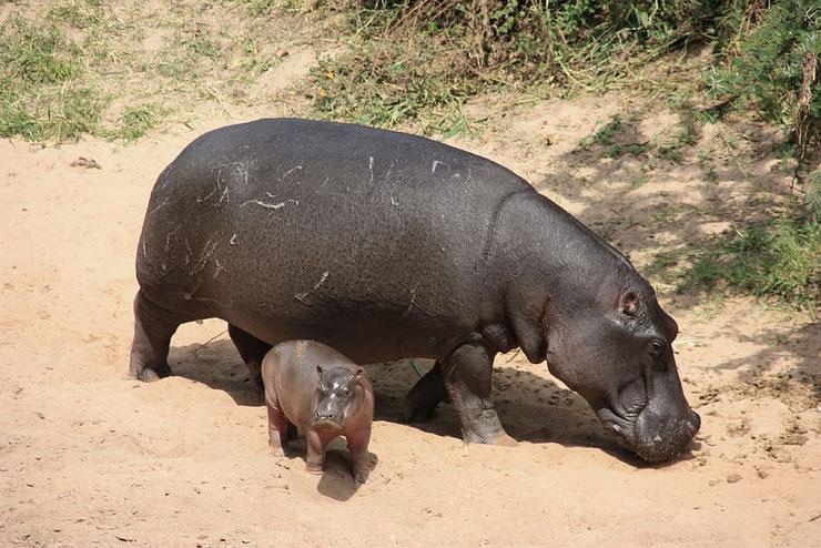 animaux hippopotame