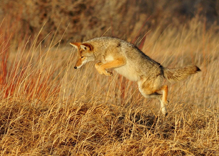 coyote en train de chasser