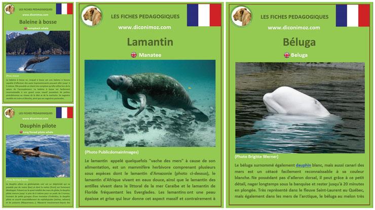 fiches animaux pedagogiques pdf à imprimer et à telecharger devoir maison mammiferes marins lamantin beluga baleine a bosse dauphin pilote